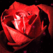Rose rouge en gros plan