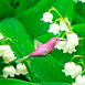 Colibri picorant dans du muguet