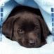Chiot labrador noir sous une couverture
