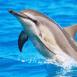 Saut de dauphin dans une eau bleu azur