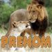 Couple de lions amoureux