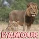 """Couple de lions """"L'amour c'est regarder ensemble"""""""