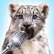 Léopard des neiges chantant