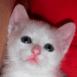 Chaton blanc de face