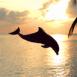 Dauphin avec plage au crépuscule