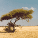Arbre dans la savane (Kalahari)