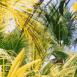 Palmiers (Seychelles)