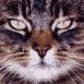 Chat tigré en gros plan