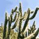 Cactus (Maroc)