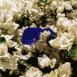 Fleurs blanches et bleues (Maroc)