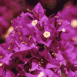 Fleurs violettes Détail (Maroc)