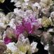 Fleurs blanches et violettes (Maroc)