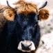 Vache Corse