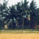Palmiers et rizière (Vietnam)