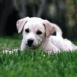 Chiot labrador couché dans l'herbe