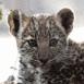 Léopard bébé