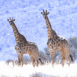 Girafes (couple)