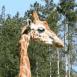 Girafe: cou et tête
