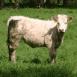 Vache regardant le photographe