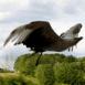 Aigle au vol, de profil et de près