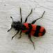 Araignée rouge et noire