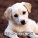 "Chiot labrador ""J'ai envie de câlins"""