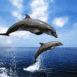 Dauphins sautant hors de l'eau