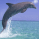 Dauphin �mergeant d'une eau turquoise